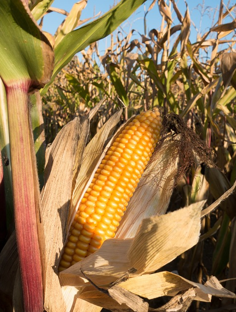 More neat facts on gold - corn