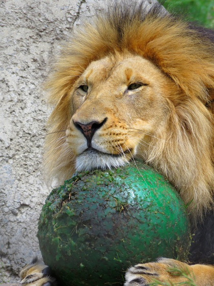 Harald Seiz is coming to Calgary - lion with a ball